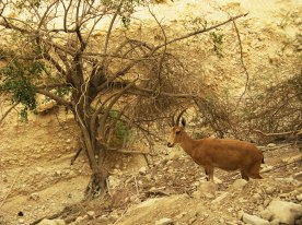 Ibexes (Gedis) are seen every where...