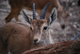 Young Nubian Ibex or Gedi...