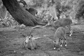 Nubian Ibex are seen every where in the Negev desert