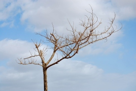 Tree surviving the harsh conditions of Negev desert near Dead sea