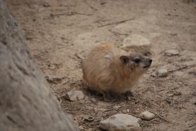 Curious hyrax