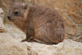 Friendly Hyrax