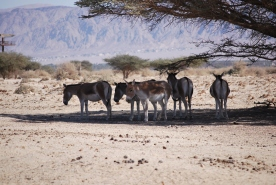 Herd of Somali wild Ass