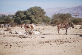 Oryx and Somalia wils Asses