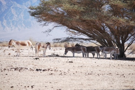 Somalia Wild Asses... succesfully reintroduced in to wild at Maktesh Ramon.