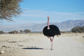 Red-necked Ostrich