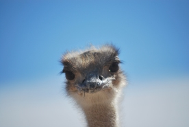 Curious Ostrich!