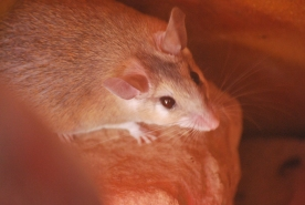 Nocturnal rodent species