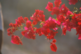 Bougainvillea adds color to the golden color sands and the ancient walls.
